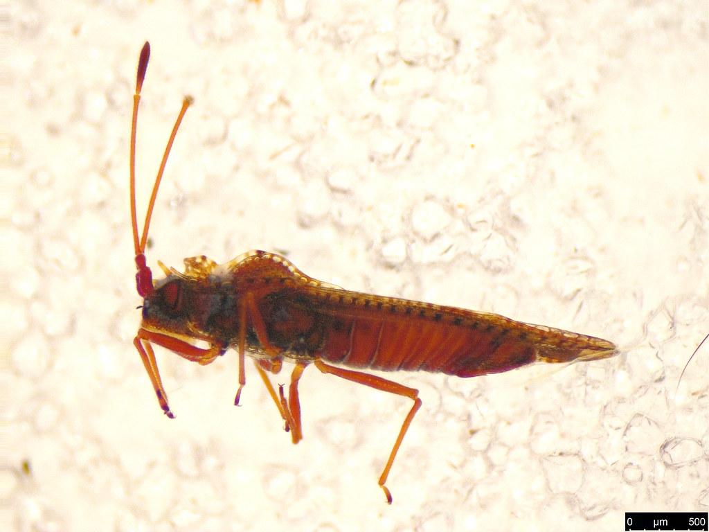 12a - Ulonemia burckhardti Péricart, 1992