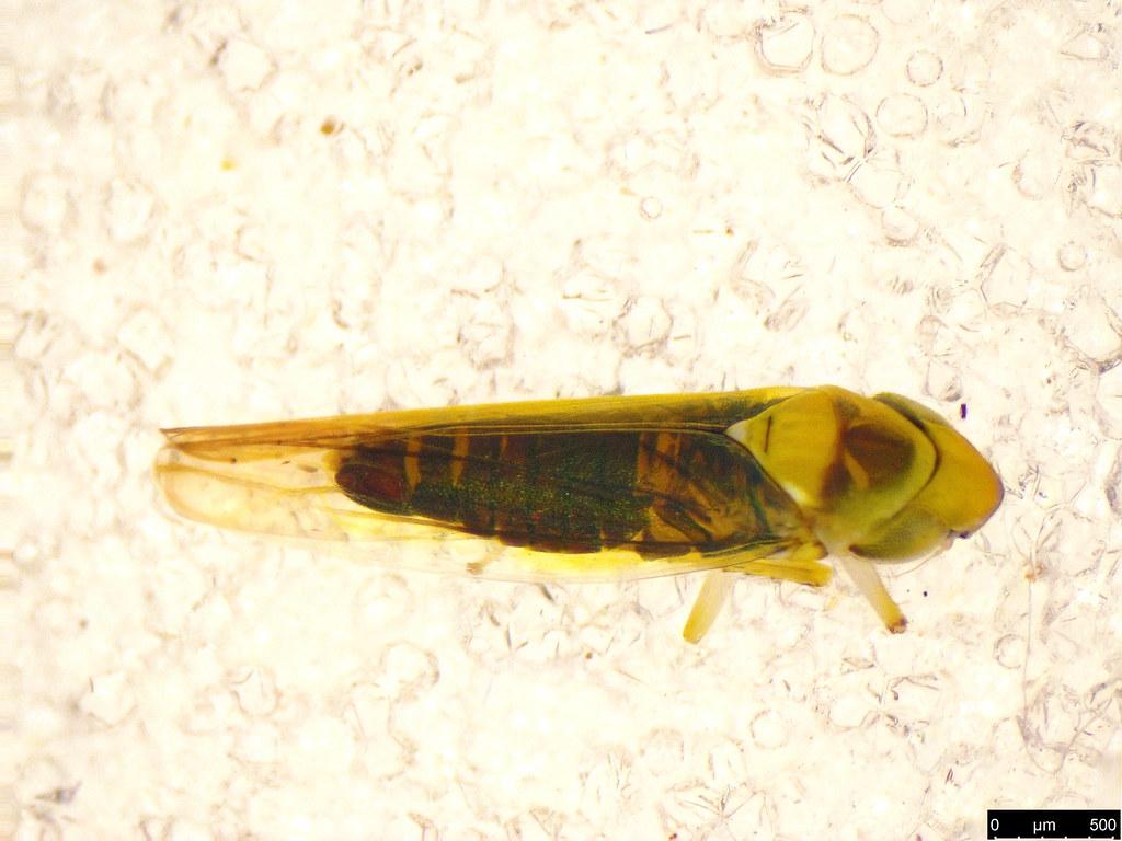 14b - Cicadellidae sp.
