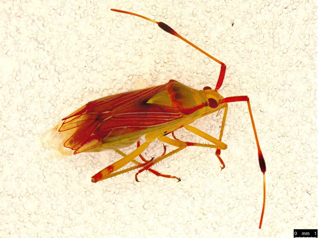 16 - Pseudopantilius australis (Walker, 1873)