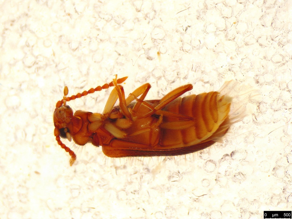 18c - Anthicidae sp.