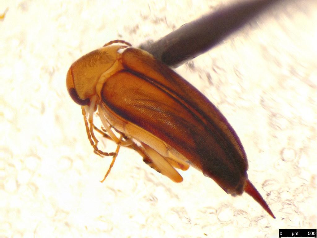 21b - Mordellidae sp.