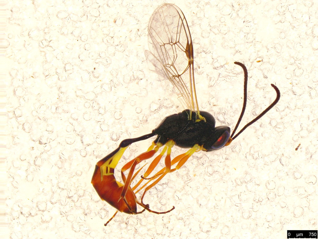 37a - Ichneumonidae sp.