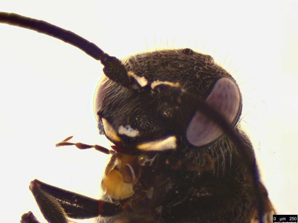 42c - Tiphiidae sp.