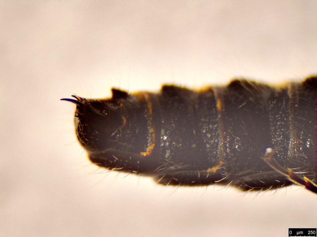 42d - Tiphiidae sp.