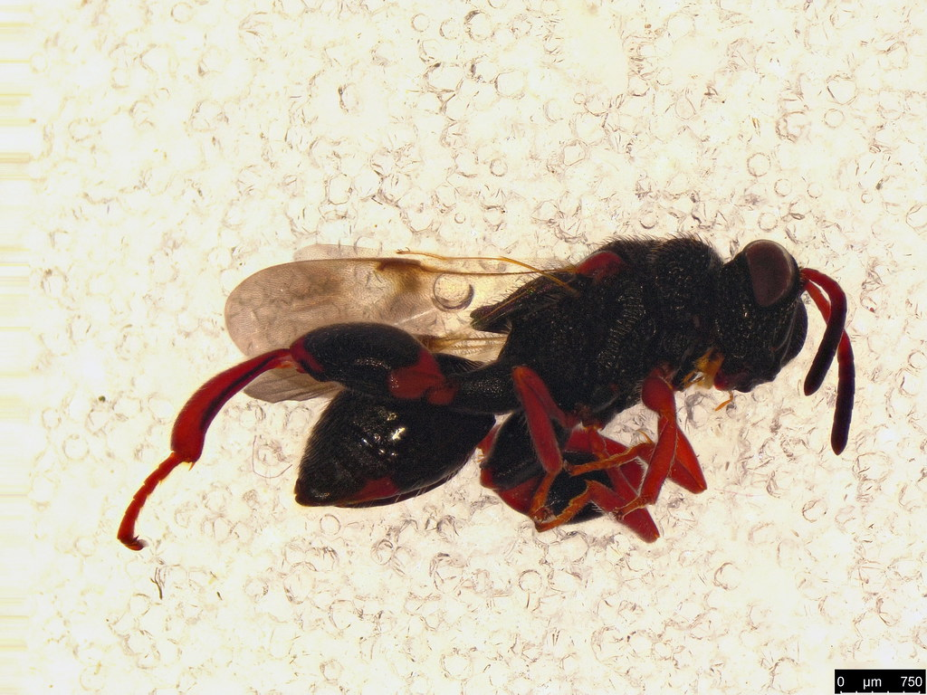 44b - Haltichellinae sp.