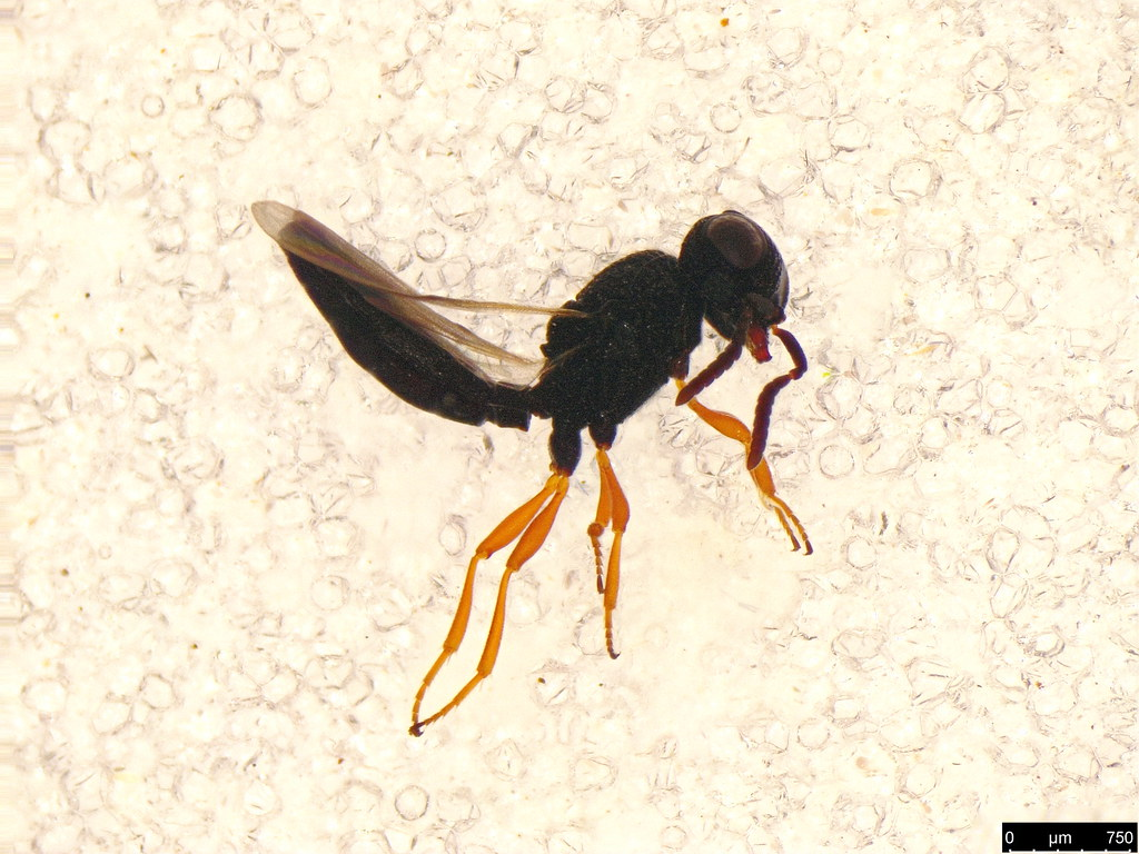 45a - Hymenoptera sp.