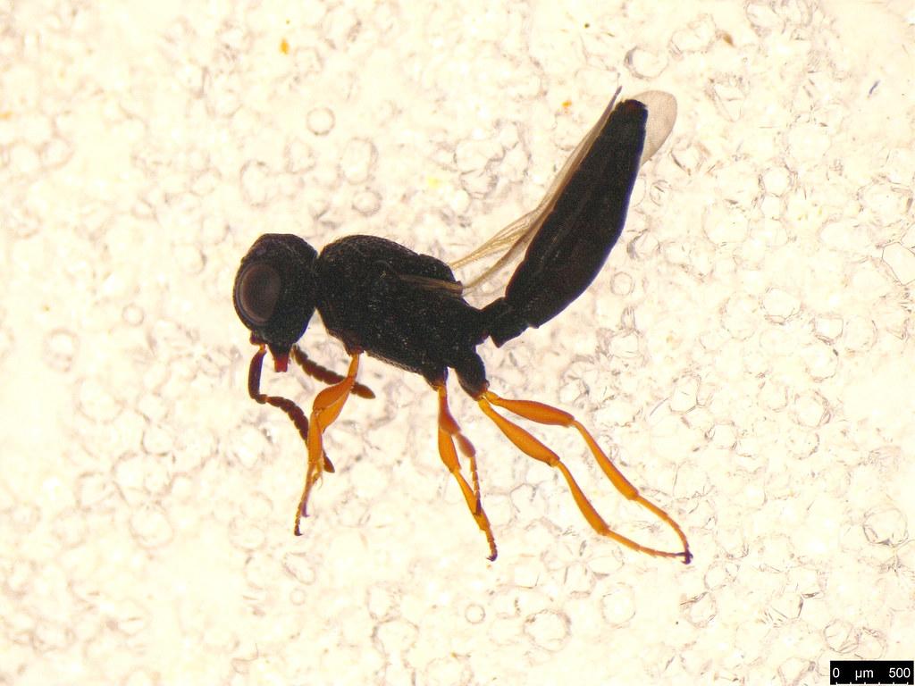 45b - Hymenoptera sp.
