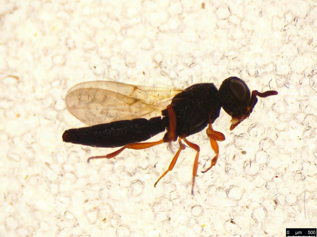 46a - Hymenoptera sp.