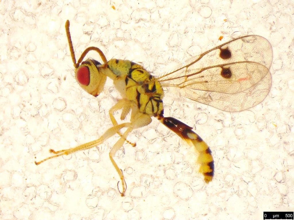47 - Megastigmidae sp.