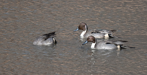 northern_pintail_duck-20201226-109