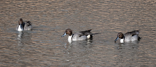 northern_pintail_duck-20201226-112