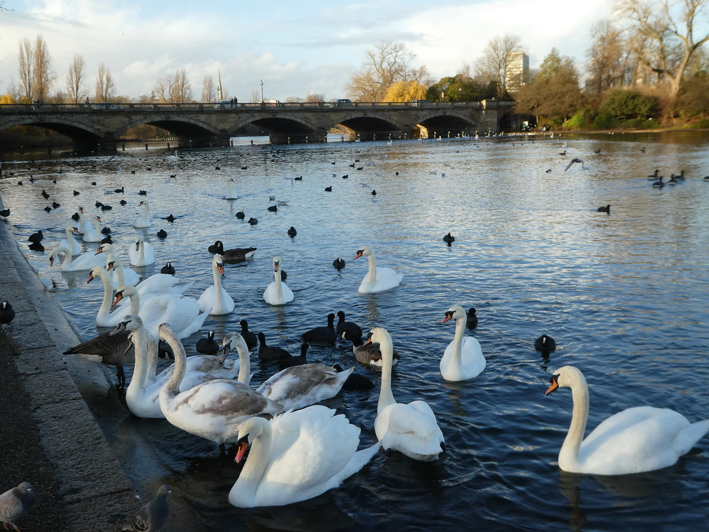 Swans in front of The Serpentine Bridge, Hyde Park