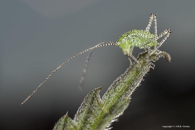Struiksprinkhaan (Leptophyes punctatissima) nimf