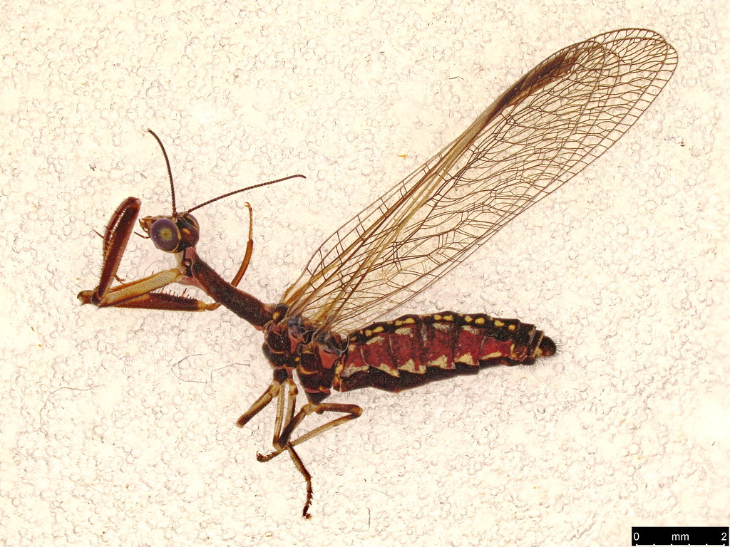 1b - Theristria delicatula (Westwood, 1852)