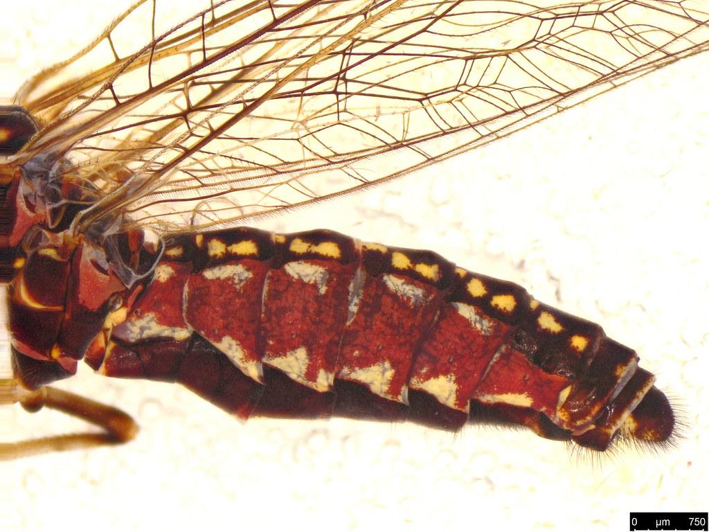 1f - Theristria delicatula (Westwood, 1852)