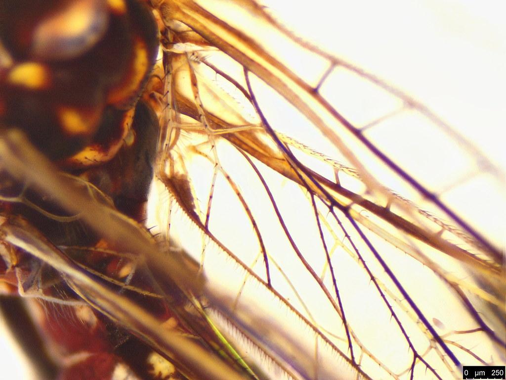 1g - Theristria delicatula (Westwood, 1852)