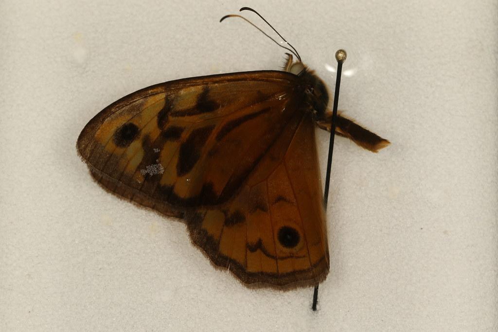 2 - Heteronympha merope (Fabricius, 1775)
