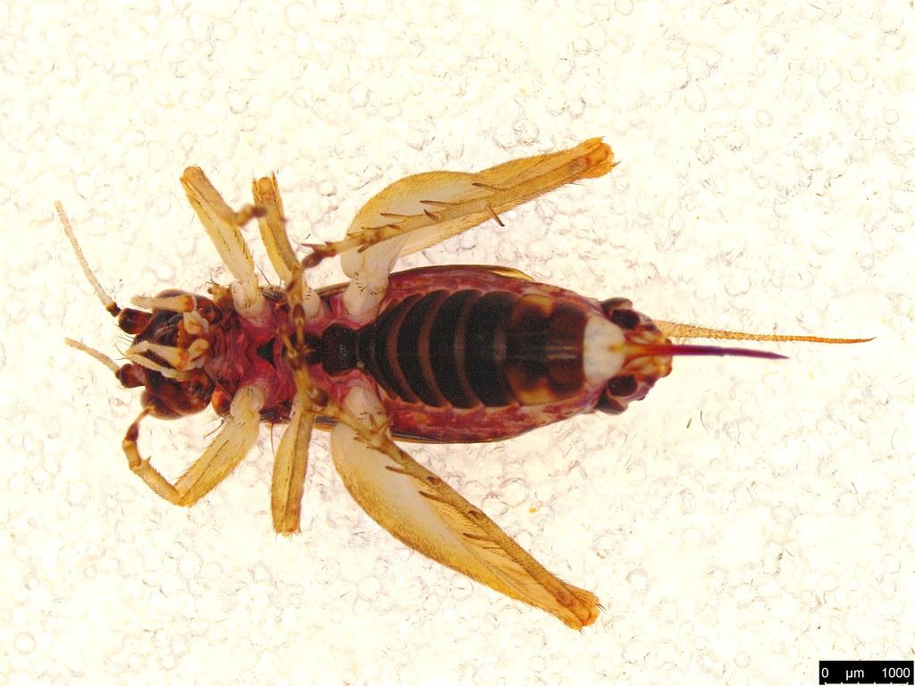 11b - Gryllidae sp.