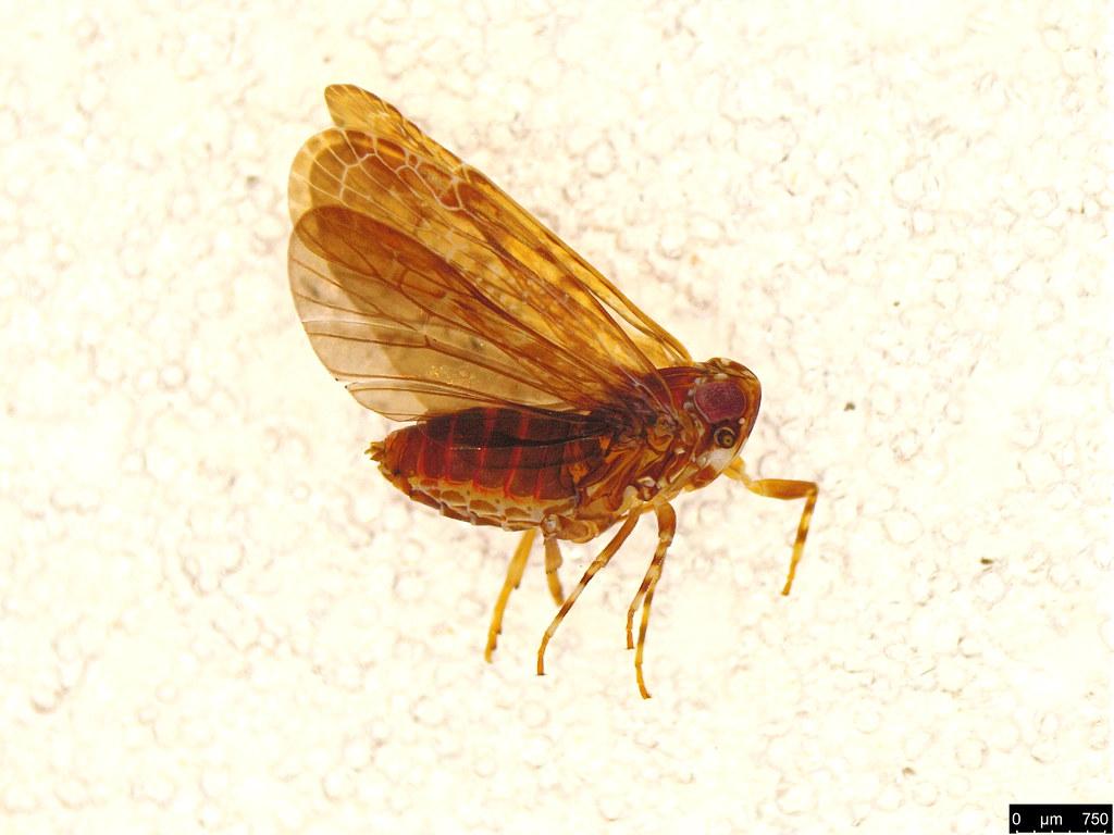 15 - Hemiptera sp.