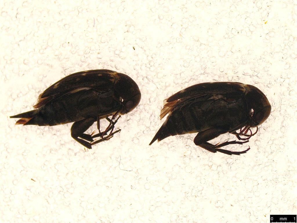 19 - Mordellidae sp.