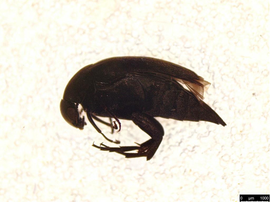 20 - Mordellidae sp.
