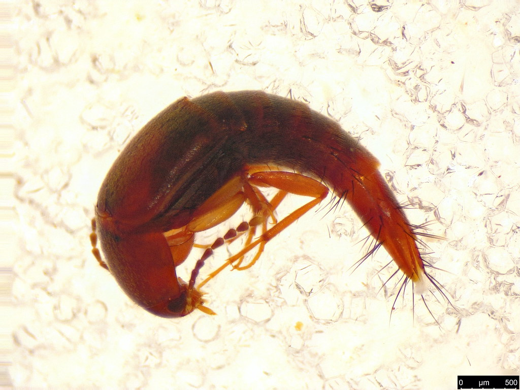 22b - Staphylinidae sp.