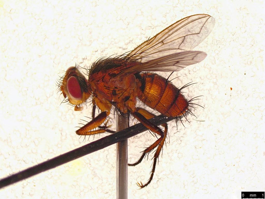 29 - Tachinidae sp.