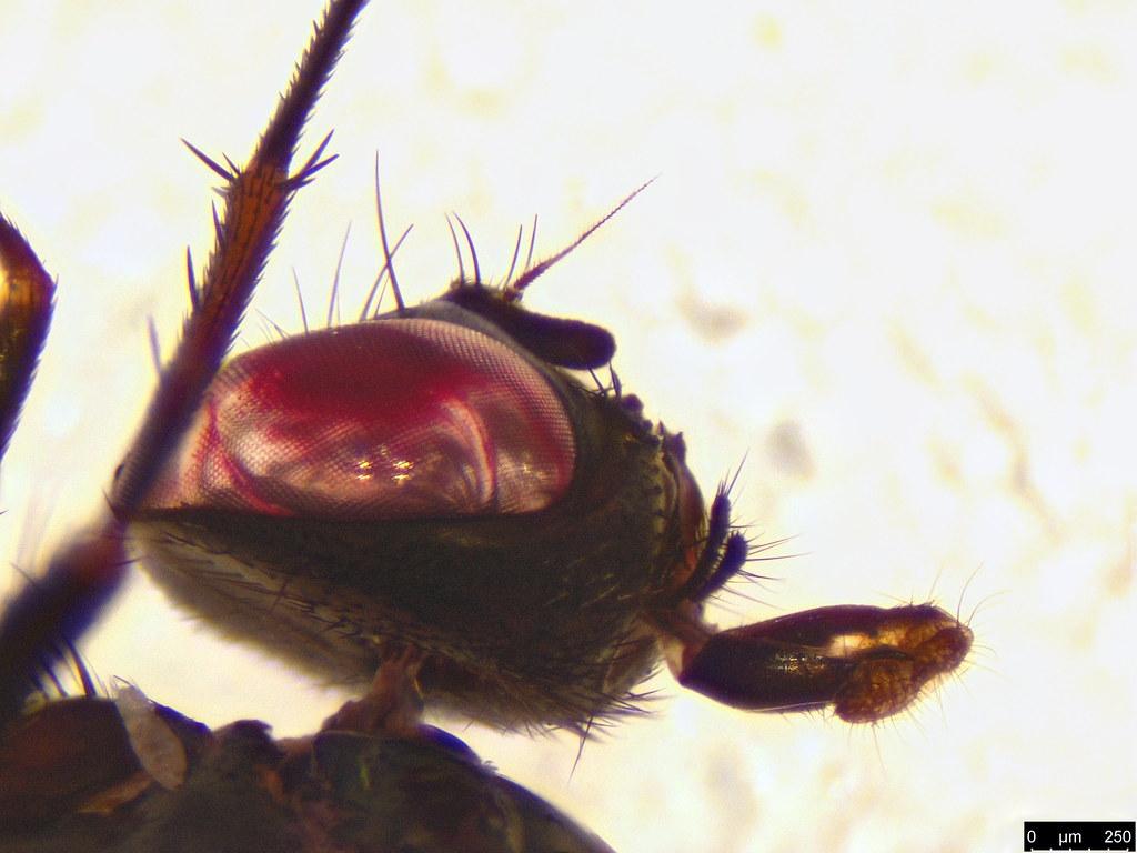 31b - Muscoidea sp.