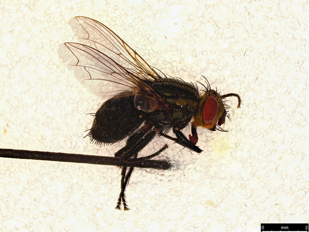 32 - Diptera sp.