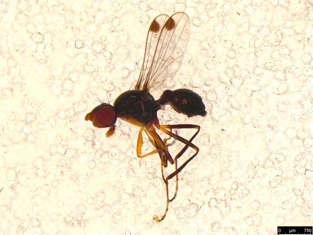 35 - Diptera sp.