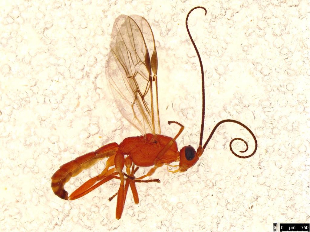 41 - Braconidae sp.