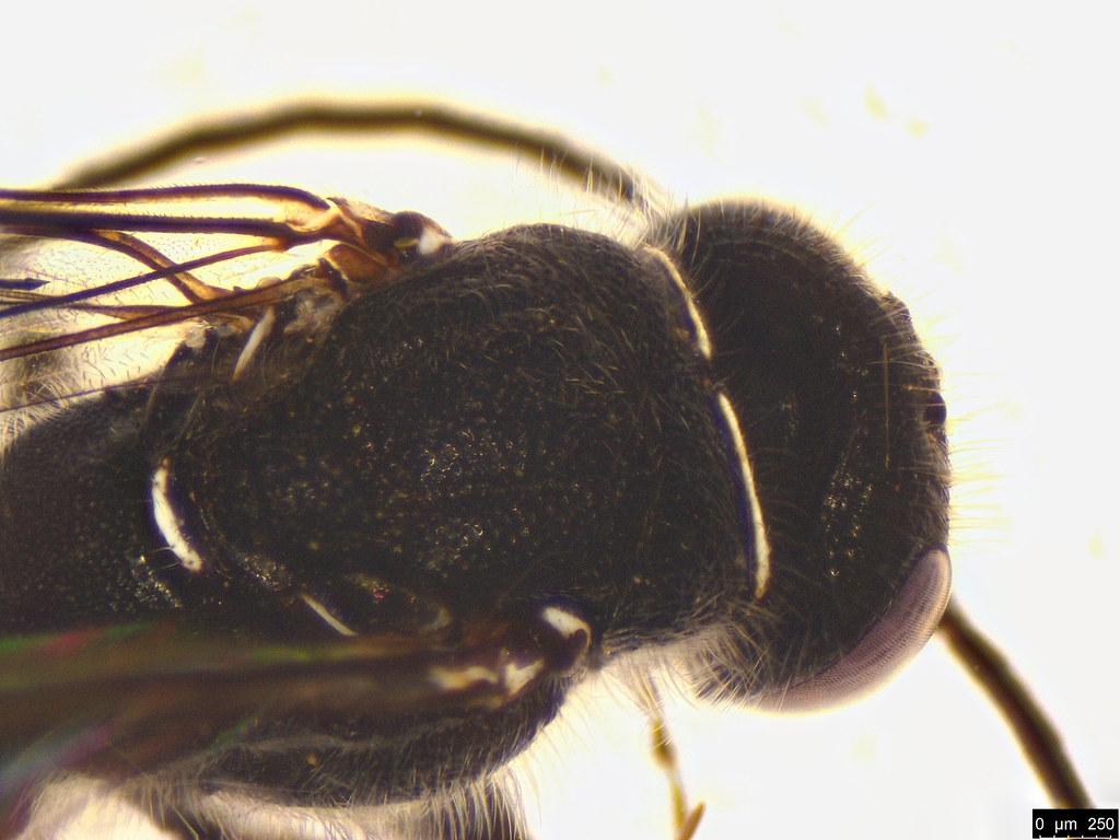 42b - Tiphiidae sp.