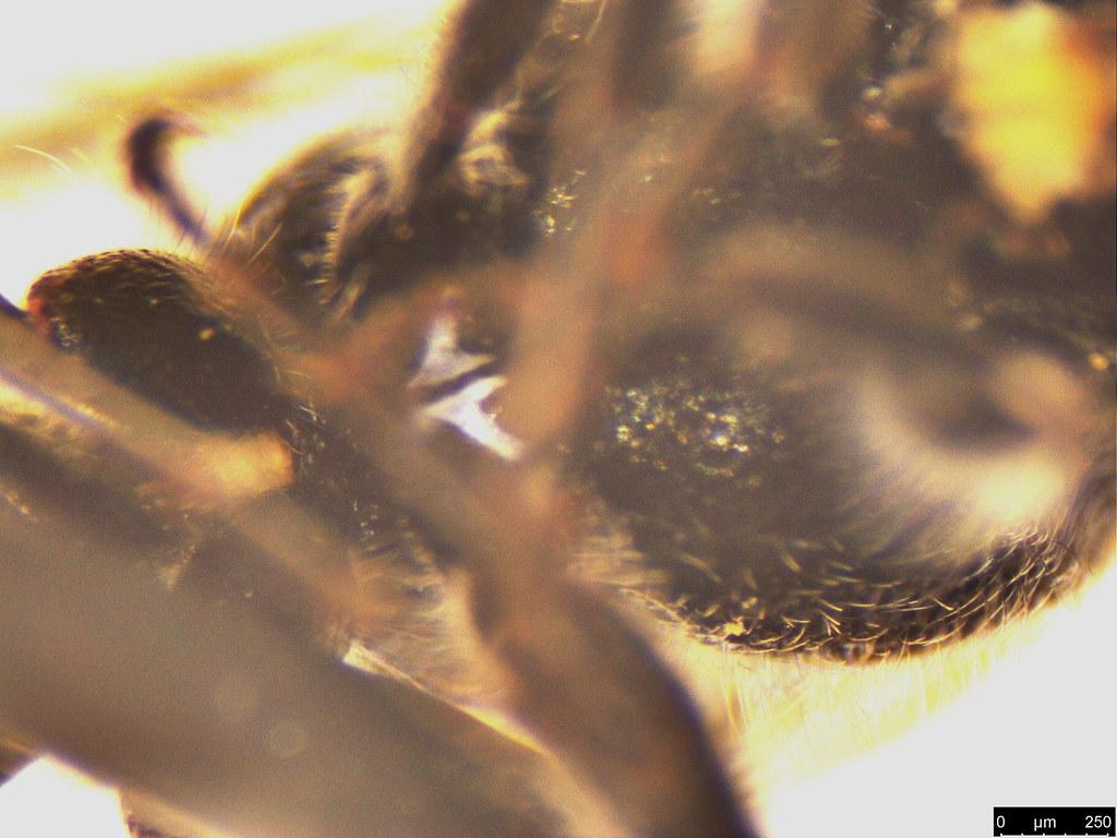 42e - Tiphiidae sp.
