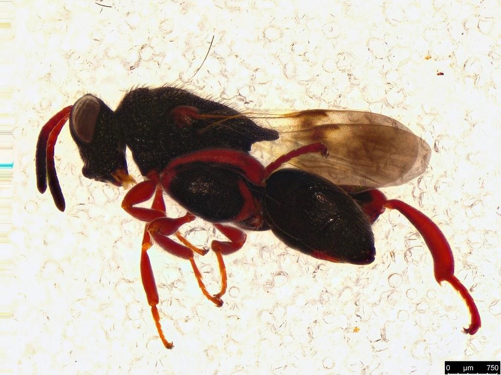 44c - Haltichellinae sp.