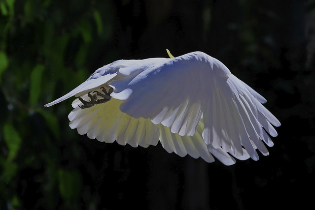 Sulphur-crested Cockatoo : White plumage and yellow crest . . .