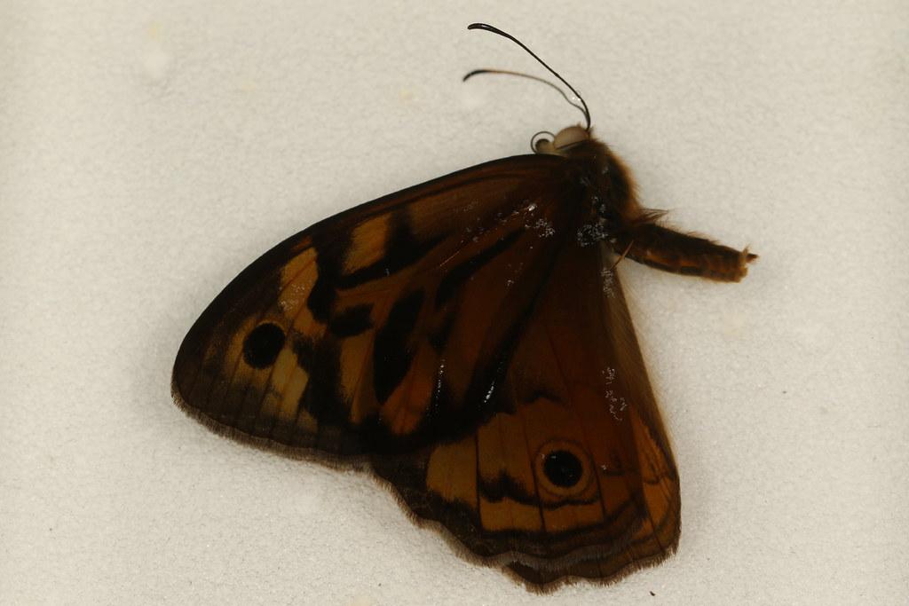 3 - Heteronympha merope (Fabricius, 1775)
