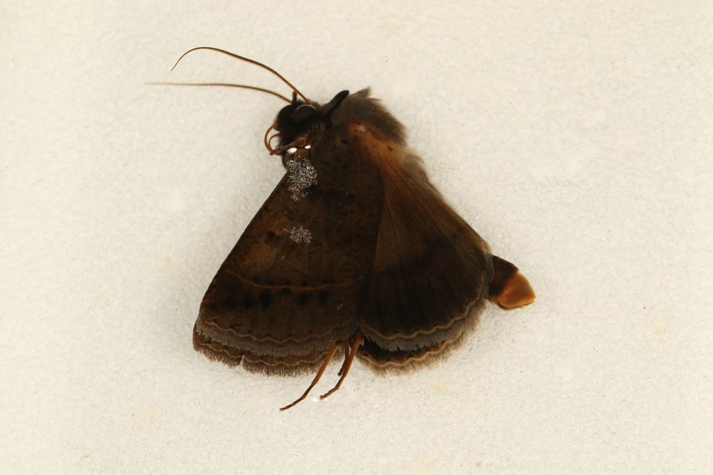 6 - Pantydia sparsa Guenée, 1852