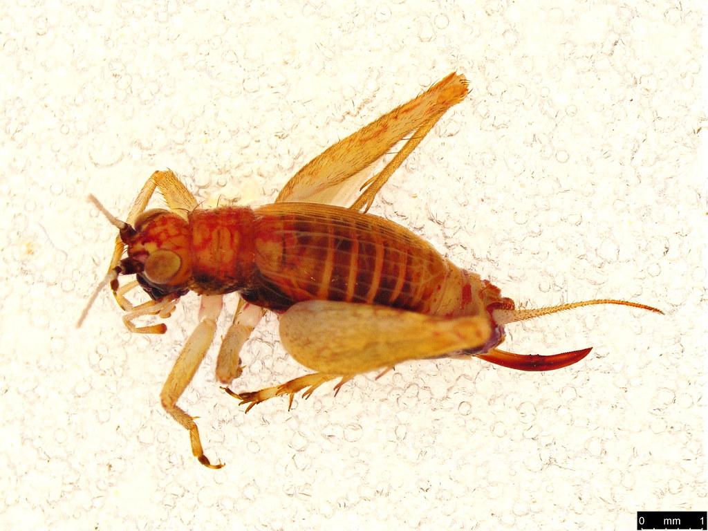 11a - Gryllidae sp.