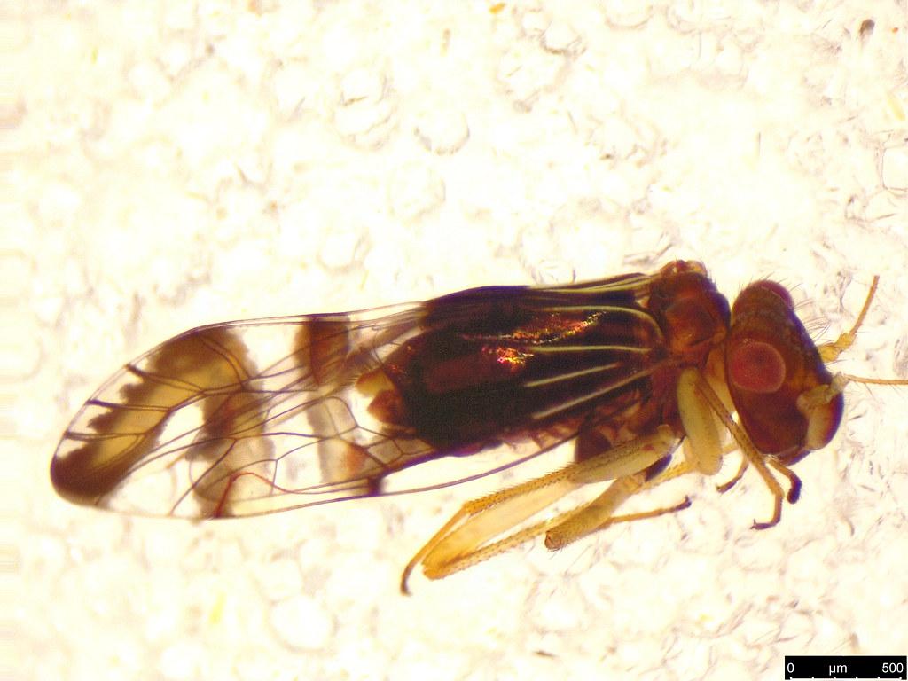 17b - Pentacladus eucalypti Enderlein, 1906
