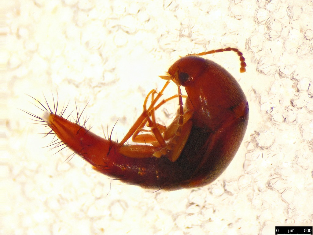 22a - Staphylinidae sp.