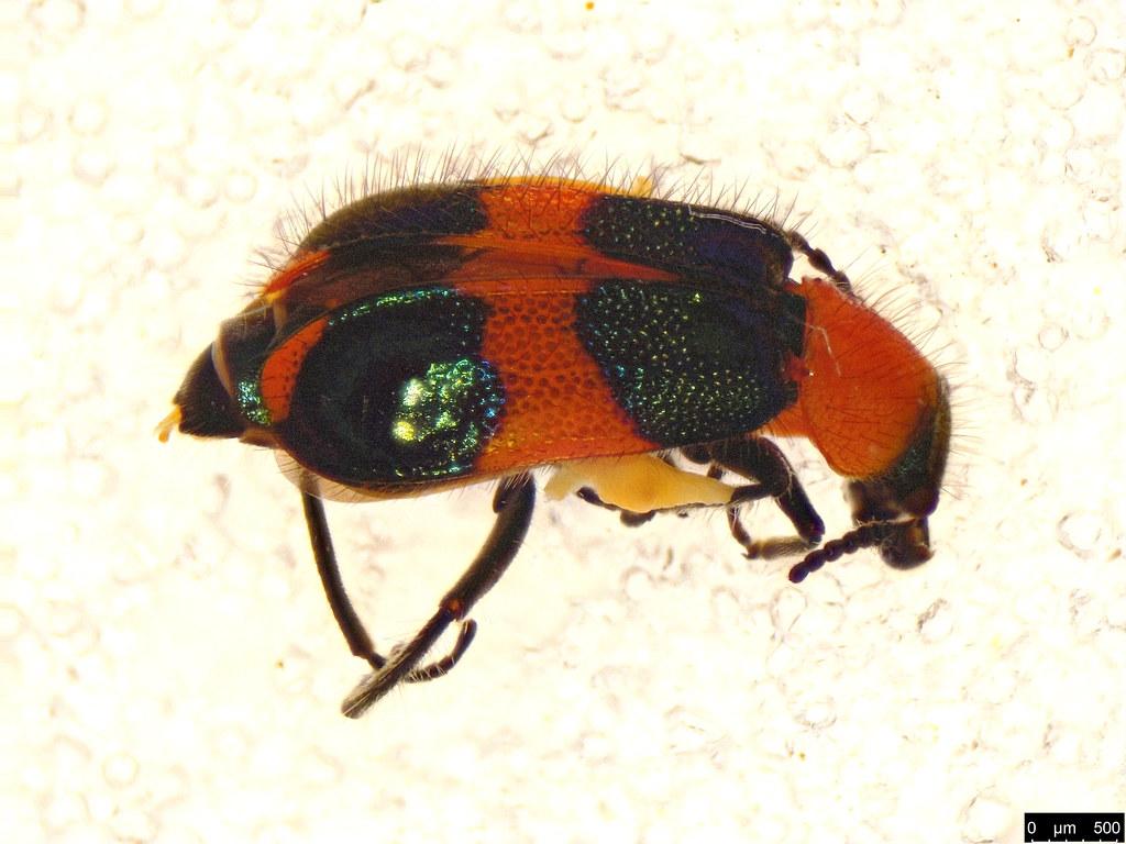 23 - Dicranolaius bellulus (Boisduval, 1835)