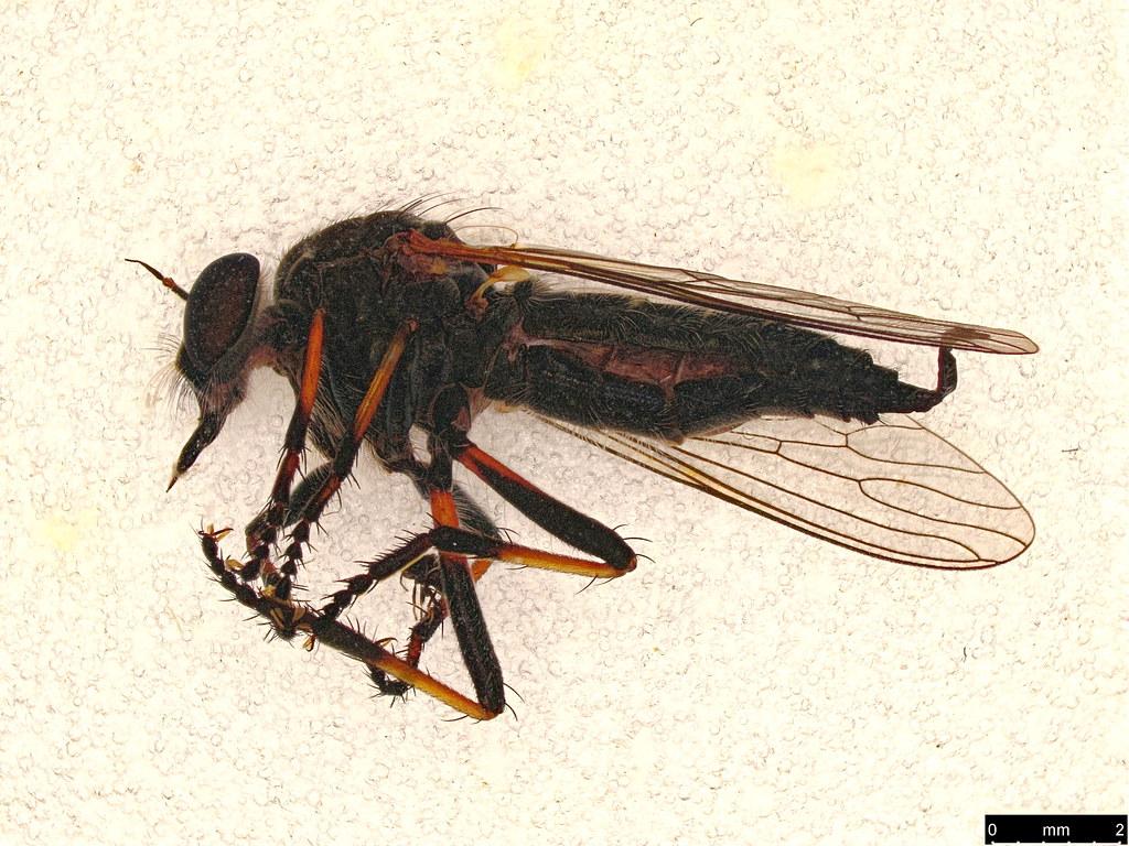 26 - Asilinae sp.