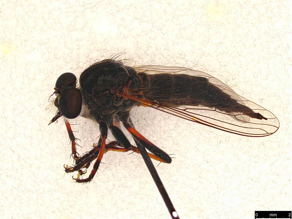 27 - Asilinae sp.