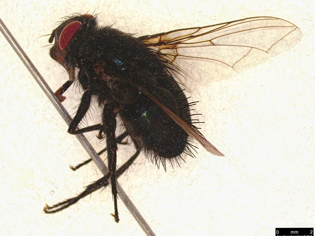 30 - Tachinidae sp.