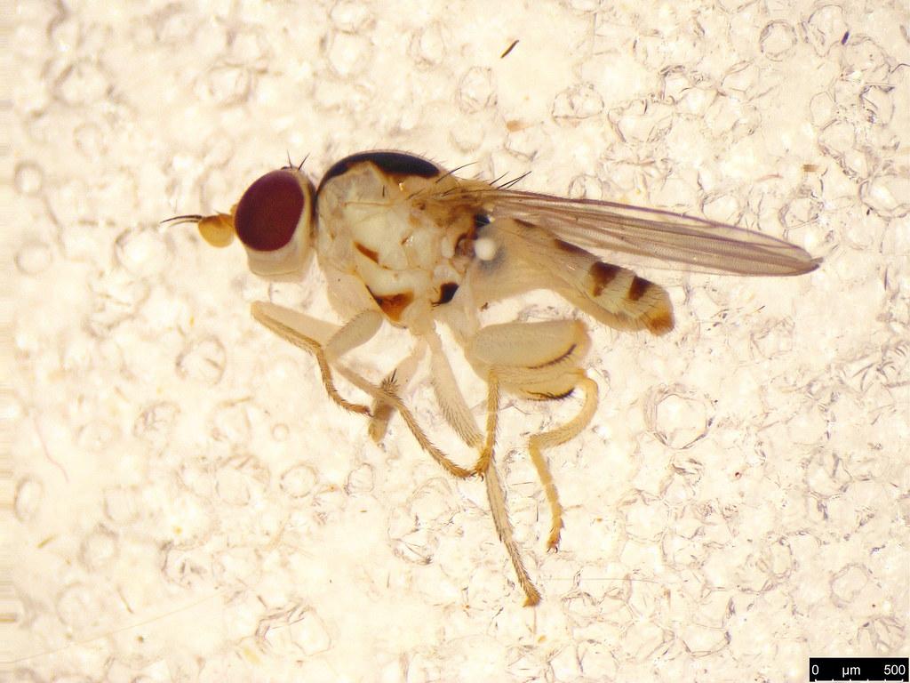 34a - Diptera sp.