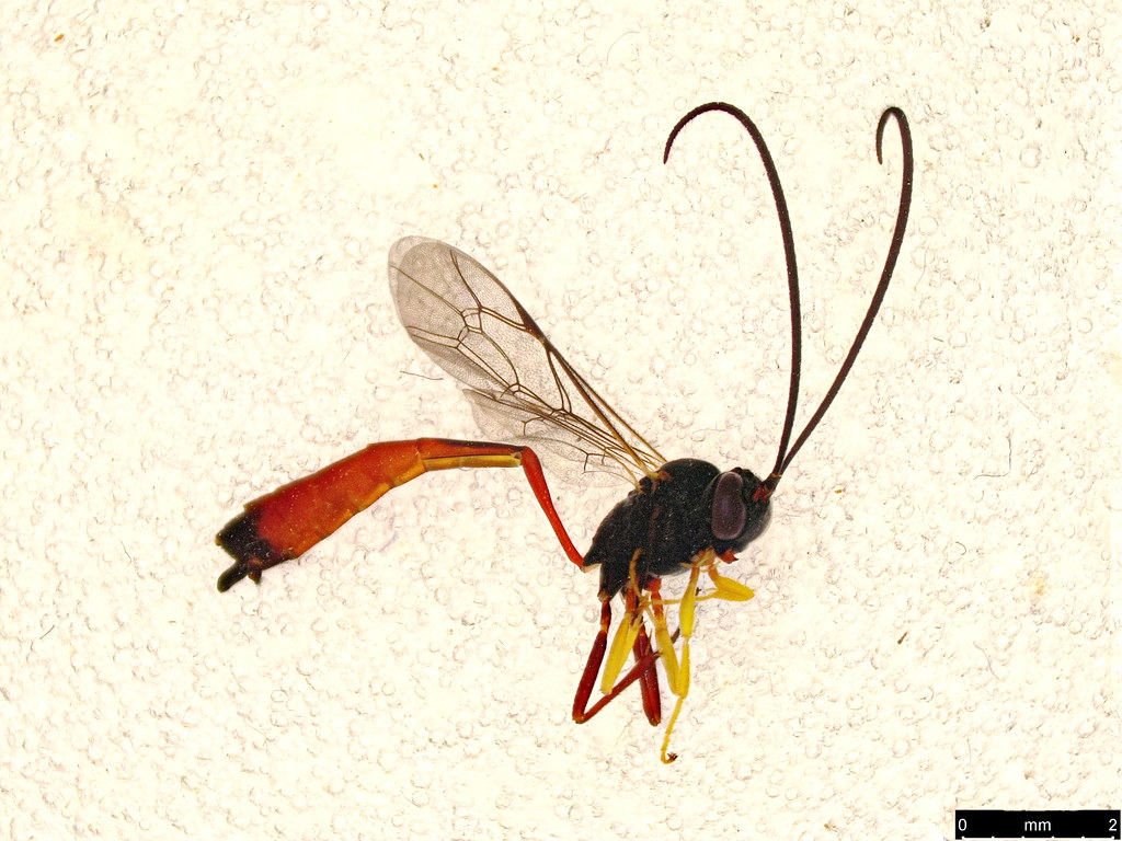 38 - Ichneumonidae sp.