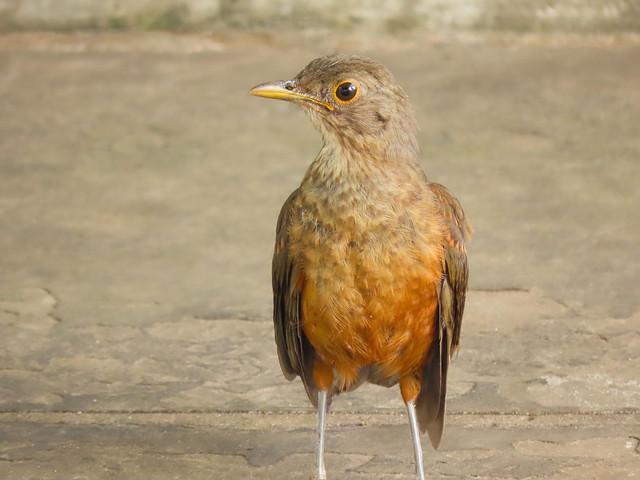 Sabiá-laranjeira/Rufous-bellied Thrush