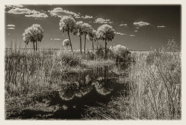 Lake Woodruff IR #11 2020; Stand of Palms in the Marsh