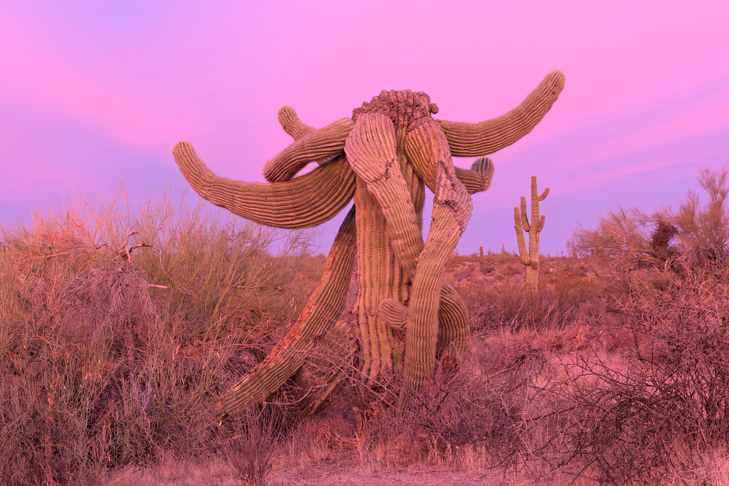 A saguaro I call the Elephant is bathed in the diffuse light before sunrise with pink skies behind on the Latigo Trail in McDowell Sonoran Preserve in Scottsdale, Arizona on December 24, 2020. Original: _CAM8025.arw