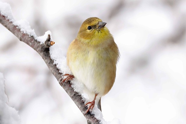 248A0434 goldfinch